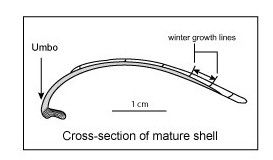 Figure 1. Cross-section of mature shell, age seven years, magnification 10x.  The arrow denotes the distance between two annual winter growth lines (modified from Hallmann et al., 2009).