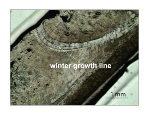 Winter growth line in S. gigantea